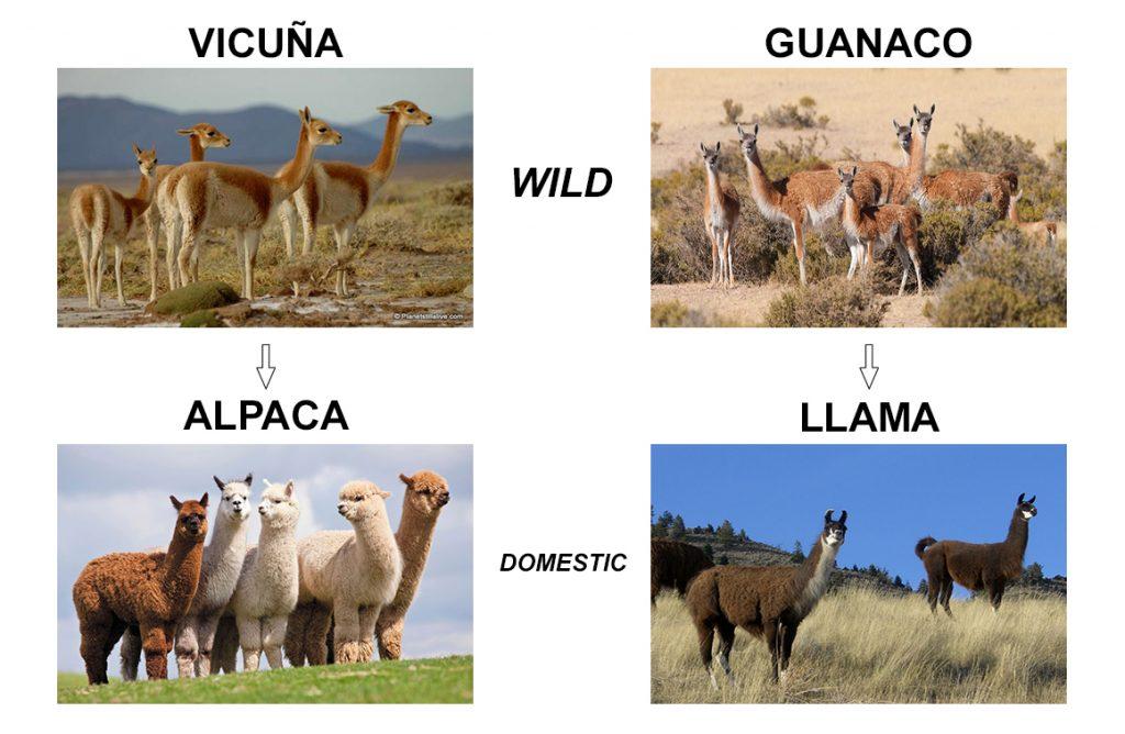 Diferentele dintre lama (llama), guanaco, vicuna si alpaca intr-o singura fotografie